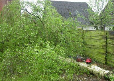 Birketræ fældes og fjernes