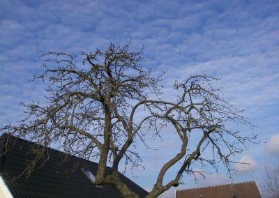Efter billede æbletræ beskåret og klippes til