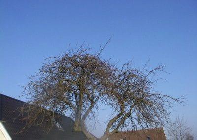 Før billede af æbletræ som trænger til beskæring og udtønning af grene